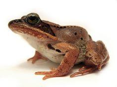 Wood Frog (Rana sylvatica) http://davehuth.com