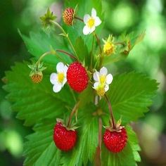 Wild Strawberry Seeds (Fragaria Vesca Baron Solemacher) 100+Seeds - Under The…