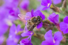 #Honey #Bee #Collecting #Pollen From #Purple #Flowers @123RF #123rf #ktr14 #nature #insects #stock #photo #new #download #highres #Austria #carinthia #color