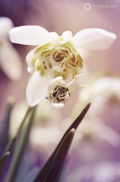 Snowdrop in #spring – Schneeglöckchen