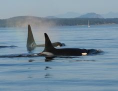 Tag deployed on a Southern Resident killer whale