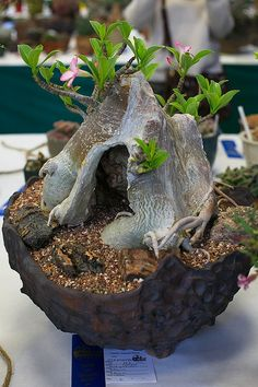 Adenium arabicum by ktvamp, via Flickr