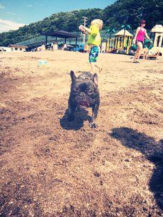 Jax our French Bulldog at a beach Pawty!