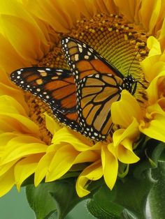 Sunflower and monarch butterfly - (Penny Collins) nature Butterfly Kisses, Butterfly Flowers, Monarch Butterfly, Beautiful Butterflies, Beautiful Flowers, Butterfly Outline, Sunflower Pictures, Butterfly Pictures, Sunflower Art