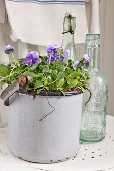 Potted purple pansies