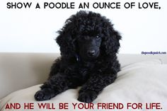 The Poodle Patch — Show a poodle an ounce of love, and he will be...