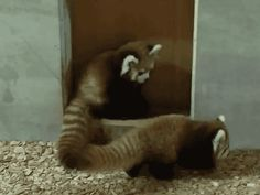 This sneak attacker. | The 27 Best Red Panda GIFs Of All Time