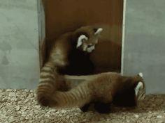 Panda Cubs Playing Gif