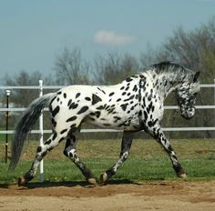 black leopard - Friesian x Appaloosa stallion Legendary Design