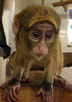 Baby De Brazza's monkey born at Twycross Zoo