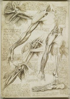 Leonardo da Vinci, 1452-1519, Italian, The muscles of the shoulder and arm, and the bones of the foot, c.1510-11. Pen and ink with wash, over black chalk on paper, 28.9 x 20.1 cm. Royal Collection Trust, Windsor. High Renaissance.
