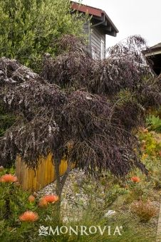 Monrovia's After Dark Peppermint Willow details and information. Learn more about Monrovia plants and best practices for best possible plant performance.