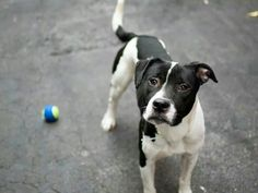 TO BE DESTROYED - 09/20/14 Manhattan Center  My name is ROCKY. My Animal ID # is A1014053. I am a male white and black pit bull mix. The shelter thinks I am about 2 YEARS  I came in the shelter as a STRAY on 09/14/2014 from NY 10460, owner surrender reason stated was STRAY.https://m.facebook.com/photo.php?fbid=873132582699622&id=152876678058553&set=a.611290788883804.1073741851.152876678058553&source=49