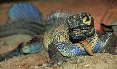 Sailfin Lizard - Soa Soa Water Dragon | Animal Pictures and Facts ...