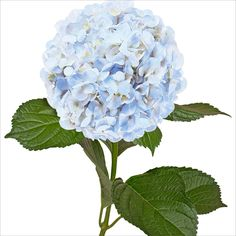 Hydrangeas and Petals Combo - Blue - Sam's Club