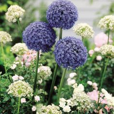Allium caeruleum Azureum Blue Drumstick - 20 flower bulbs - Clay soil