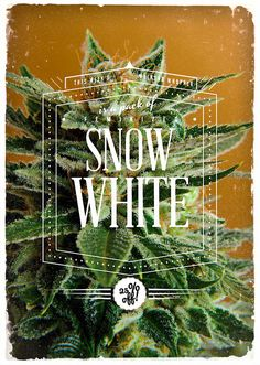 Snow White! Her pure Cannabis Indica father gives Snow White a denser stature than close relative White Widow, making this F1 hybrid a big yielder indeed. Its cannabis plants bear dense sticky buds covered in trichomes.