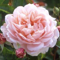 wildeve rose  3.5' x 3.5', med fragrance