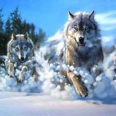 Wolves running through Snow…Gorgeous!