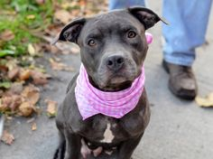 GONE ---TO BE DESTROYED - 10/28/14 Brooklyn Center -P  My name is MAMA. My Animal ID # is A1018138. I am a female gray and white pit bull mix. The shelter thinks I am about 4 YEARS old.  I came in the shelter as a STRAY on 10/20/2014 from NY 11203, owner surrender reason stated was ABANDON.    Main Thread: https://www.facebook.com/photo.php?fbid=894657713880442