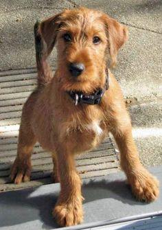 Roger the Irish Terrier
