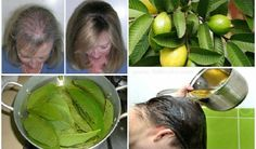 Hair loss is a common problem for many men and women which is hard to treat no matter what kind of treatment you try. Luckily for you, we have a working natural solution for hair loss – guava leaves!Guava leaves are probably the best natural remedy for this problem and can also increase the...