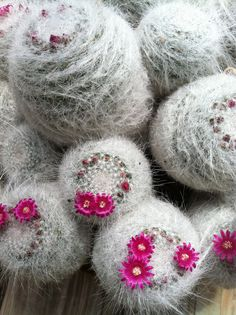 https://flic.kr/p/bSqGpr   Mammillaria hahniana   Mammillaria hahniana (but see the comments for discussion on the taxonomy).  My acknowledgments to Dr. Ed Leuck at Centenary College of Louisiana, whom these specimens belong to.