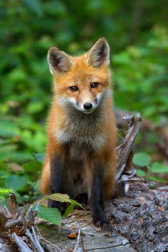 ☀Red Fox by Jim Cumming on 500px