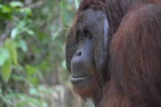 .Orangutan Green Team guides buying land to protect Borneo's wildlife from palm oil threat