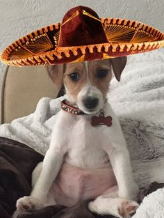 George, the Jack Russell getting ready for Cinco De Mayo!