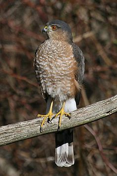 Sharp-Shinned Hawk. Not interested in the feeder itself, but the birds that visit the feeder.