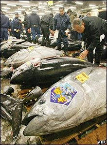 The Tokyo Fish Market (Tsukiji)--the big tuna each selling for thousands of dollars.