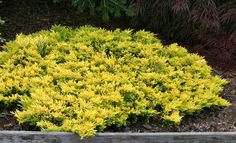 Juniperus horizontalis ' Gold Strike ' Dwarf Golden Creeping Juniper