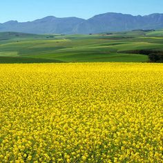 The Canola Fields around Cape Town are in bloom. The fields are alive with exquisite yellow colours ! Photo Thanks to Cape Town Tourism. Pretoria, Cape Town Tourism, Canola Field, Cape Town South Africa, Am Meer, Africa Travel, Countries Of The World, Beautiful Places, Beautiful Scenery