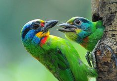taiwan barbet  (photo by afi chen)