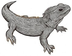 Tuatara Picture | Flickr - Photo Sharing!