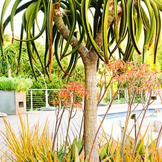24 surprising plant combos | Tree story | Sunset.com Tree aloe (A.beinisii) , Angelina sedum,  sword like libertia, aloe striata with bright orange flowers