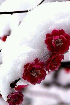 Winter ~ red flowers and snow Winter Szenen, I Love Winter, Winter Magic, Winter Christmas, Winter Flowers, Winter Colors, Red Flowers, Red Roses, Flowers Garden