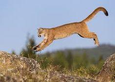 Resultado de imagem para cougar animal