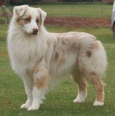 """Red merle Australian Shepherd Dog // Risingstar's No Flies on Me for Stavros """"Rum"""" #AustralianShepherd"""