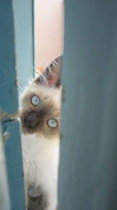 Blue eye Siamese look in'... Hello! #cat