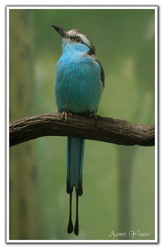 . The Racket-tailed Roller (Coracias spatulatus) is a species of bird in the Coraciidae family. It is found in Angola, Botswana, Democratic Republic of the Congo, Malawi, Mozambique, Namibia, South Africa, Swaziland, Tanzania, Zambia, and Zimbabwe (Wiki)