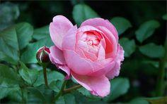 Rose im August - Jahreszeiten - Galerie - Community