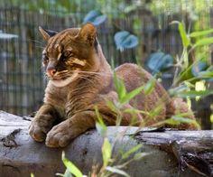Азиатская золотистая кошка, или кошка Темминка (Catopuma temmincki)