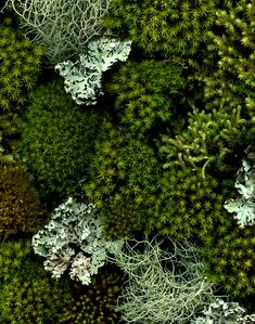 """Those who contemplate the beauty of the earth find reserves of strength that will endure as long as life lasts.⁣ Image of Moss and Lichen by Horticulture Art⁣ Bonsai, Plantation, Botany, Horticulture, Shades Of Green, Mother Nature, Planting Flowers, Garden Design, Succulents"