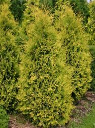 Thuja occidentalis, kanadantuija