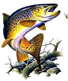 Brown Trout - illustration