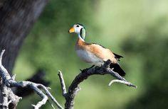 Nettapus auritus/African Pygmy Goose/アフリカマメガン