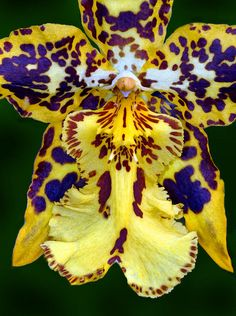Yellow Orchid Photograph by Dave Mills - Yellow Orchid Fine Art Prints and Posters for Sale