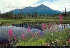 alaska wildflower landscape | Alaska Landscape